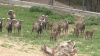 Pui de mufloni, la Grădina Zoologică din Capitală. Vizitatorii, încântaţi de micile vietăţi