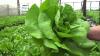 STUDIU: Salata verde ne face mult mai mult rău decât carnea