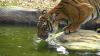 O îngrijitoare de la o grădină zoologică din Marea Britanie a fost ucisă de un tigru