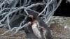 Viața amoroasă a pinguinilor: Cum a reacționat un pinguin după ce și-a prins iubita în compania altuia (VIDEO)