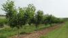 După ninsorile din aprilie livezile sunt amenințate de dăunători. Recomandările agronomilor