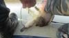 O raţă, salvată din plasele instalate de braconieri şi eliberată în apele lacului Manta (VIDEO)