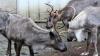 Autoritățile norvegiene au decis sacrificarea a mii de reni pentru a împiedica răspândirea unei maladii