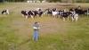 El le cântă, ele îl admiră. Muzică și concerte în fața vacilor (VIDEO)