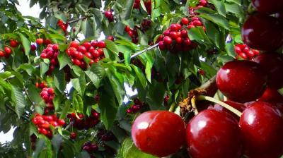 Ploile au adus pagube agricultorilor. Pomii de cireşi şi mere au fost afectaţi