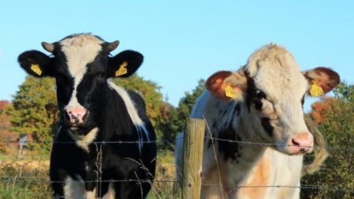 REVOLTĂTOR! Un bărbat acuzat că a agresat sexual o vacă, căutat cu elicopterul de autorități