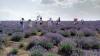 Lavanda, o minunație a naturii, un parfum autentic, o atracție turistică