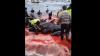 MARE DE SÂNGE! Sute de balene, OMORÂTE. La această grozăvie au asistat localnicii şi copiii (VIDEO ŞOCANT)