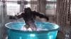 Internetul are o nouă vedetă! O gorilă care dansează a cucerit sute de mii de oameni (VIDEO)