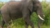 ALARMANT: Peste 20 de elefanți, UCIŞI în Myanma. Traficanții le vând organele în China