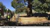 SUA: Un arbore impresionant de sequoia a fost mutat după 100 de ani
