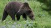 Urșii grizzly din Parcul Național Yellowstone nu vor mai beneficia de măsurile de protecție a animalelor protejate