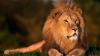 AMENDĂ USTURĂTOARE pentru un bărbat care și-a plimbat leul cu mașina prin oraș (VIDEO)