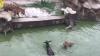 Scene șocante la o grădină zoologică. Un măgar viu a fost aruncat la tigri (VIDEO)