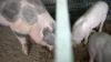 La Ştefan Vodă a fost descoperit un focar de pestă porcină africană. Măsurile întreprinse de ANSA