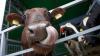ŢĂRANII RENUNŢĂ LA VACI. În ultimul deceniu, numărul bovinelor a scăzut în Moldova cu aproximativ 40 la sută