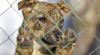 Un român, stabilit în Moldova, creşte zeci de câini pentru a-i transforma în campioni