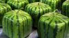 Japonezii au creat pepenele cubic! Ai mânca aşa ceva?