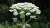 Această plantă banală te poate îmbolnăvi rău. Fereste-te de ea