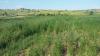 Plantaţie ilegală de cânepă în sectorul Ciocana. Proprietarul terenului riscă închisoare de pînă la un an (VIDEO)