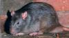 IMAGINI SUMBRE! Zeci de şobolani au invadat o stradă din centrul Chişinăului (VIDEO)