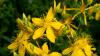 Medicii recomandă să NU consumi ceai din această plantă pe timp de vară!