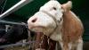 EXEMPLU DEMN DE URMAT. Un fermier din raionul Ialoveni a reuşit să deschidă o fermă de vaci modernă