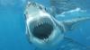 Un rechin alb a intrat în cușca metalică a unui scafandru! IMAGINI DE GROAZĂ (VIDEO)