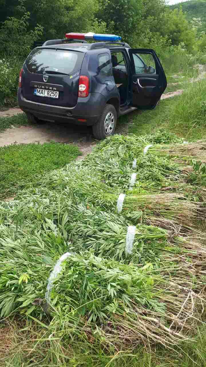 O parcelă de cânepă a fost descoperită în apropierea satului Vasilcău
