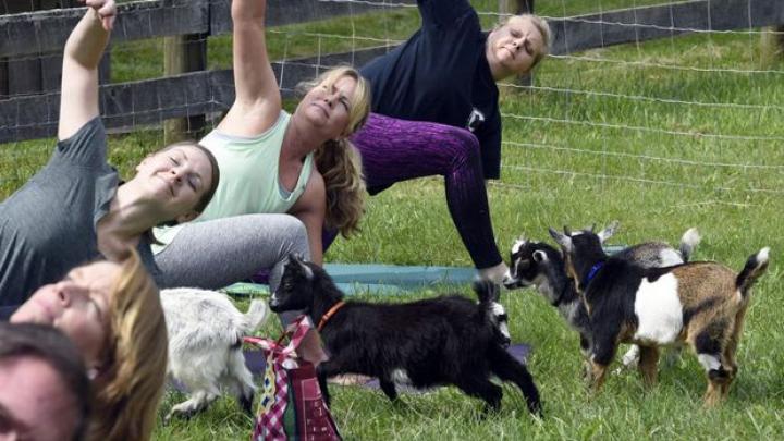 Femeile din SUA fac yoga printre capre, animăluțele zburdă pe lângă participante