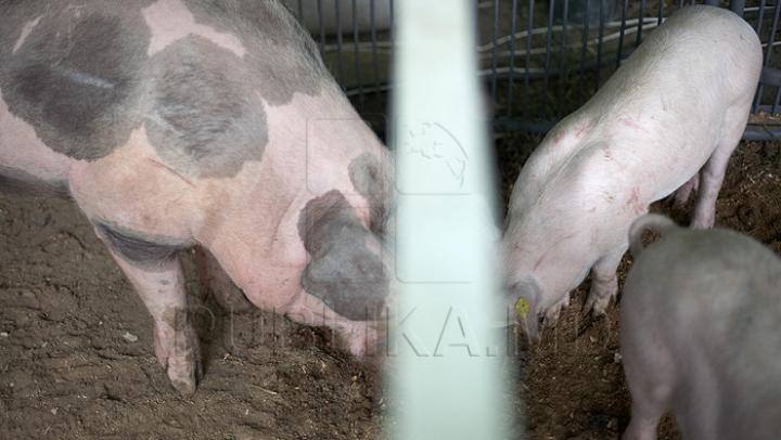 Aproape 50.000 de porci au fost uciși de pesta porcină africană în România