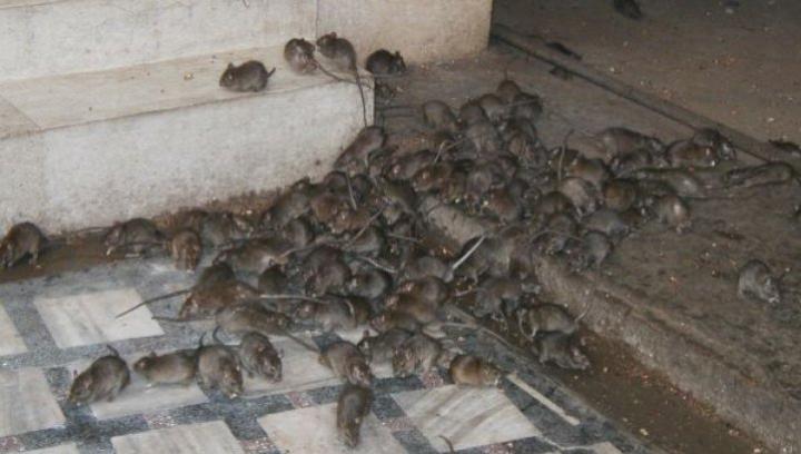 Sate întregi, INVADATE de şobolani! Localnicii sunt ÎNGROZIŢI