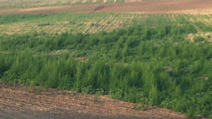 11 hectare de cânepă, descoperite la Alexandru Ioan Cuza. Autorităţile au iniţiat o anchetă
