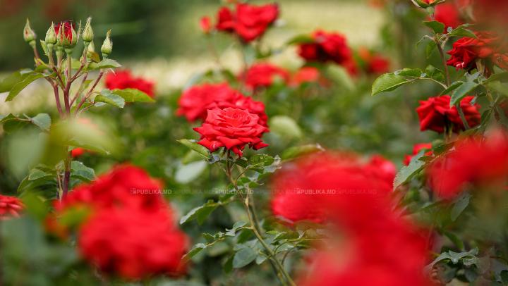 SEMNIFICAŢIA GESTULUI dacă primeşti unul sau 10 trandafiri roşii