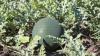 Cozi la cumpărat pepeni verzi vânduţi direct din câmp. Cumpărătorii sunt mulţumiţi de calitate