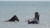 Imagini spectaculoase. Caii sălbatici se răcoresc în Marea Neagră (VIDEO)