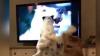 REACŢIA HAIOASĂ a doi căţei: Ce fac atunci când îşi văd stăpâna la televizor (VIDEO)
