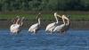 Raiul păsărilor se află în sudul Moldovei. În fiecare an, mii de pelicani invadează lacurile din sudul țării