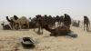 Sute de cămile au murit de foame şi sete după ce au fost alungate din Arabia Saudită