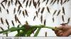 Nu o să-ți vină să crezi! Guvernul unei provincii chineze folosește păsări migratoare și găini pentru a combate o puternică invazie de lăcuste