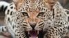Tragedie! O fetiță de 13 ani, omorâtă de un leopard. Animalul a târât-o 100 de metri de casa sa spre o fermă