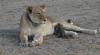 MOMENT UNIC, surprins în imagini: O leoaică alăptează un pui de leopard