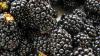 Afacere inedită la Călărași. Un agricultor cultivă mure de șase ani