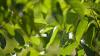 E bine sau rău pentru sănătate să stai la umbra nucului? Vezi ce spun cercetătorii