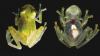 UIMITOR! Cercetătorii au descoperit o specie de broască cu inima la vedere