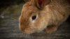 Un iepure a devenit FAIMOS pentru că mănâncă o legumă care te faci să plângi doar dacă o priveşti (VIDEO VIRAL)