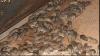 Clipe de groază: Șobolanii invadează apartamentele din Capitală