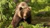 Un urs a atacat o stână de oi şi a omorât mai multe animale. Oamenii, atenţionaţi să fie precauţi