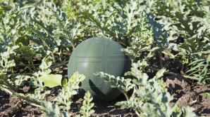 A început sezonul pepenilor verzi. Agricultorii se plâng că au roadă mai săracă (FOTOREPORT)