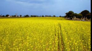 Agricultorii din raioanele de nord ale țării au început lucrările de recoltare a rapiței